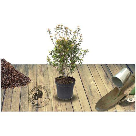 Azalée japonaise japonica Mme Van Heck | Pot de 3L - 20/40 cm