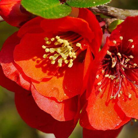 Cognassier du Japon speciosa Crimson and Gold   Pot de 3L - 40/60 cm