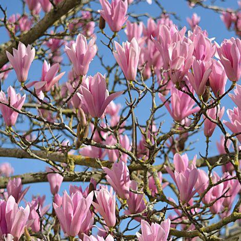 Magnolia x Susan | Godet - 5/20 cm