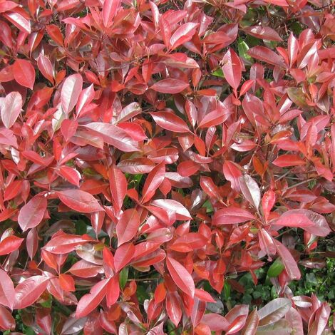 Photinia x fraseri Little Red Robin | Pot de 3L - 20/40 cm