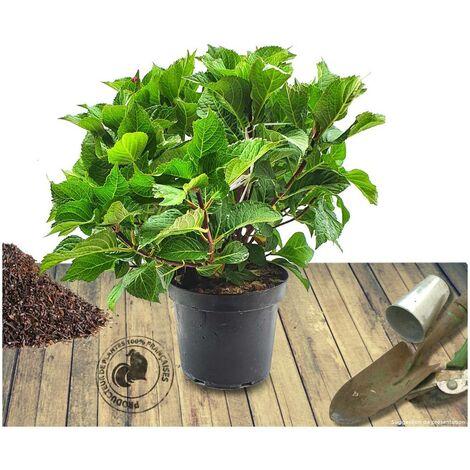 Hortensia macrophylla Rouge | Pot de 4L - 40/60 cm