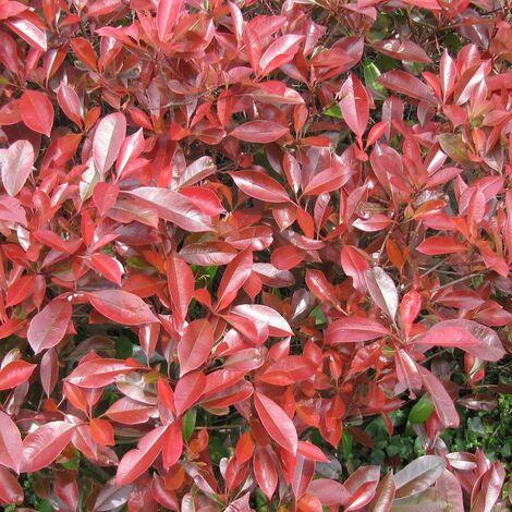 Photinia x fraseri Little Red Robin | Pot de 4L - 40/60 cm