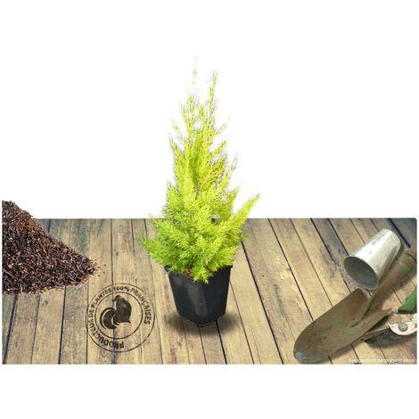 Cyprès de Lambert, Cyprès de Monterey macrocarpa Goldcrest   Pot de 7,5L
