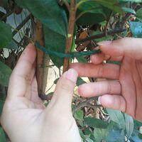 100 Pcs Accroche-Tuteurs pour Tomates Arbres Tuteurs de Plantes Attache et Soutien Réglable pour Plantes Serre-câble Lien en Plastique pour Jardinage Bricolage 17CM