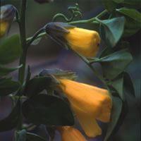 Flower Strelitzia reginaei Bulk Packet 250 Seed Bird of Paradise