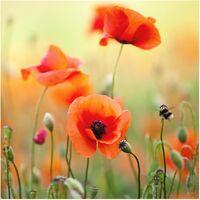 Crédence en verre - Red Summer Poppy - Carré 1:1 Dimension: 59cm x 60cm