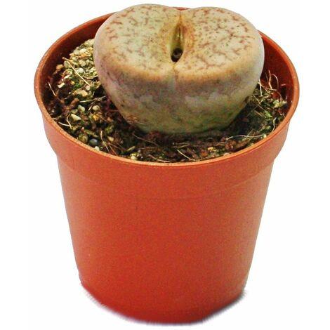 Lithops - Pierre vivante - en pot de 5,5cm