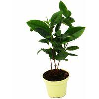 Véritable plante de thé - Camelia sinensis