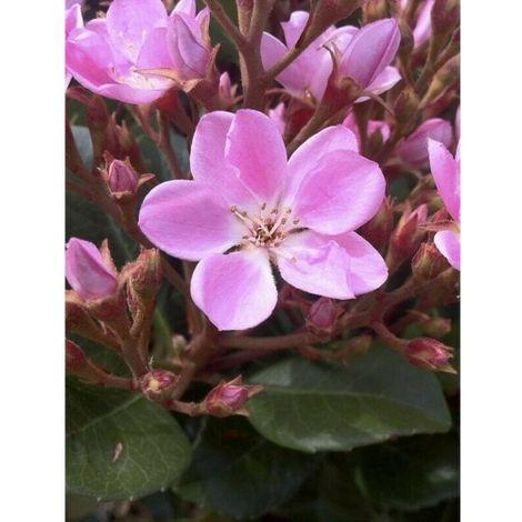 "Pianta di Raphiolepis Rosa in vaso ø9 cm ""finta rosellina"" 1 pianta"