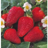 COLOSSALE ® Marascor cov. - Non Remontant - la botte de 20 plants - FRAISIERS NON-REMONTANTS