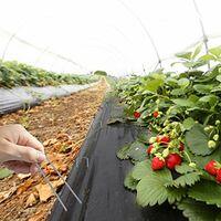 Amagabeli, 200 Piquets de Jardin Pelouse Agrafes en Forme de U, - 150 mm Long ,- Ongles Mauvaises Herbes Tissu Piquets Galvanisé ,Piquets de Fixation en Acier pour Bache