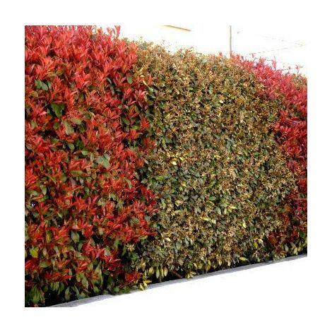 Duo de Lauriers Rouge & Argent : 6 photinias red + 6 Eleagnus ebbingei en pot de 4L (50/60cm)