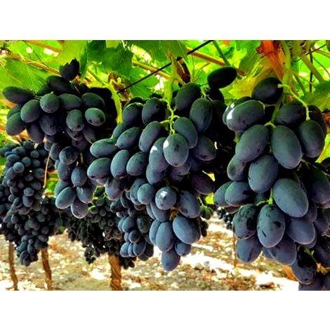 Viti di uva da tavola e da vino