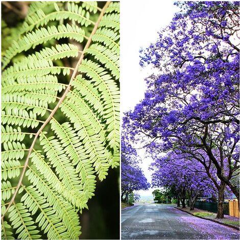 Planta Jacaranda Altura Arbol 150 Cm. Palisandro