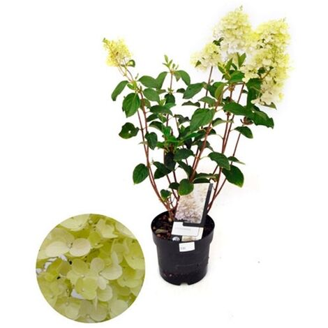 Planta Natural Hortensia Paniculata en Maceta