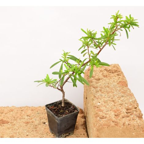 Pianta Polygala Myrtifolia Vaso 7cm,Altezza 10//15cm