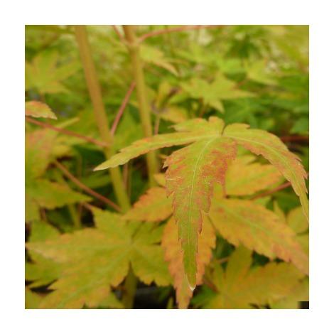 Acer palmatum var.shin-nyo - Arce japones palmeado - Contenedor de 4Litros - 40cm de altura – (To)