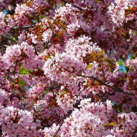 Prunus pisardii nigra - Maceta de 7Litros