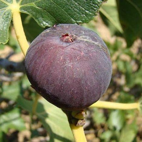Higuera - Ficus carica - Napolitana negra - Mac.22cm - 120cm de altura