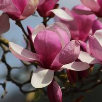 Magnolia liliflora negra - Maceta de 5Litros - 1Ud.