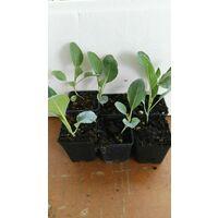 Orto 6 piante -vaso7- finocchio cavolfiore cicoria insalata iceberg verza tipo pianta: verza