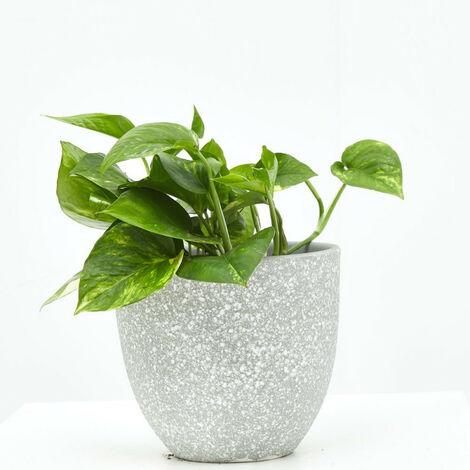 POTHO - Maceta 11cm (Altura planta 15-20cm)