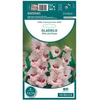 BULBO GLADIOLO WINE AND ROSES VERDECORA 8 UDS