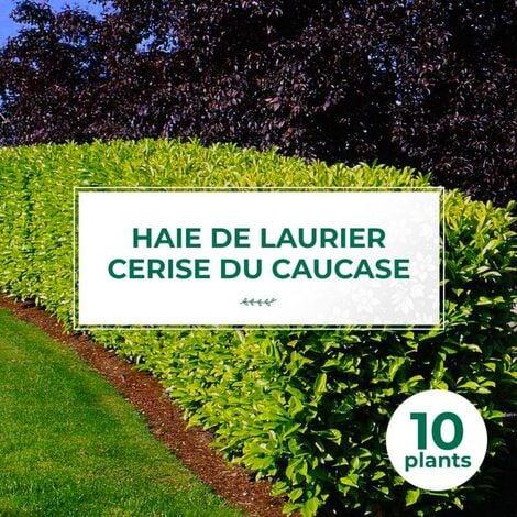 10 Laurier Cerise Du Caucase (Prunus Laurocerasus Caucasica) - Haie de Laurier du Caucase -