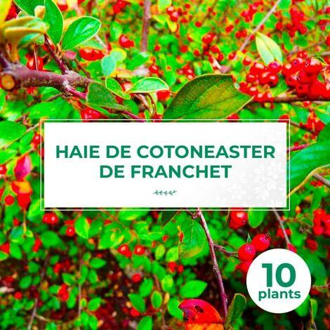 10 Cotoneaster de Franchet (Cotoneaster Franchetii) - Haie de Cotoneaster de Franchet -