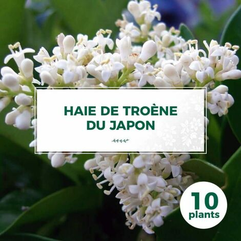 10 Troène Du Japon (Ligustrum Japonicum) - Haie de Troène Du Japon -