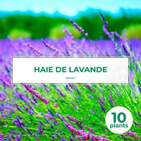 10 Lavande (Lavandula 'Angustifolia') - Haie de Lavande -