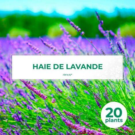 20 Lavande (Lavandula 'Angustifolia') - Haie de Lavande -