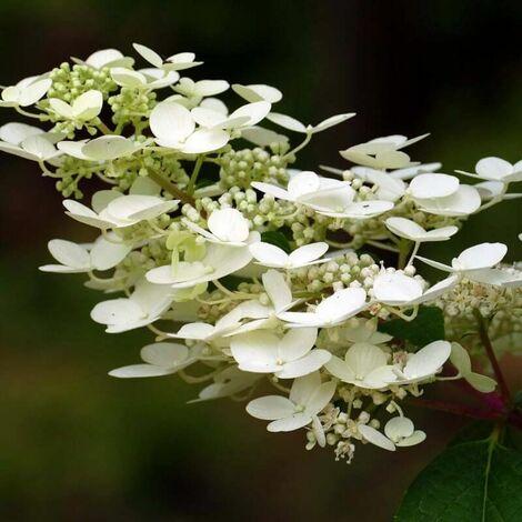 Hortensia Paniculé 'Kyushu' (Hydrangea Paniculata 'Kyushu') - Godet - Taille 13/25cm