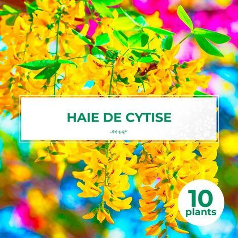 10 Cytise Commun (Laburnum Anagyroides) - Haie de Cytise -