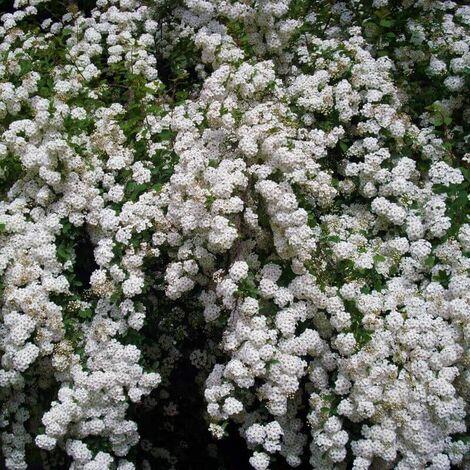 Spirée du Japon 'Snowmound' (Spiraea Japonica 'Snowmound') - Godet - Taille 20/40cm
