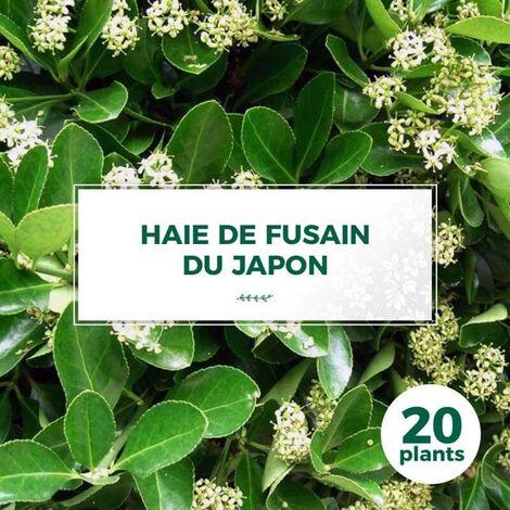 20 Fusain du Japon (Euonymus Japonicus) - Haie Fusain du Japon -