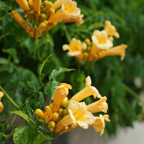 Bignone 'Yellow Trumpet' (Campsis 'Yellow Trumpet') - Conteneur 3L