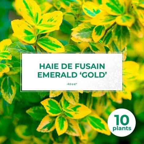 10 Fusain Emerald 'Gold' (Euonymus Fortunei 'Gold') - Haie Fusain Gold -