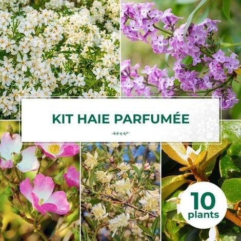 Kit Haie Parfumée - 10 Jeunes Plants -