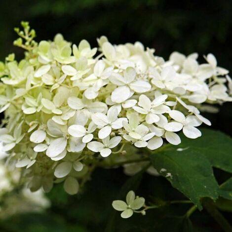 Hortensia Paniculé 'Silver Dollar' (Hydrangea Paniculata) - Godet 8cm