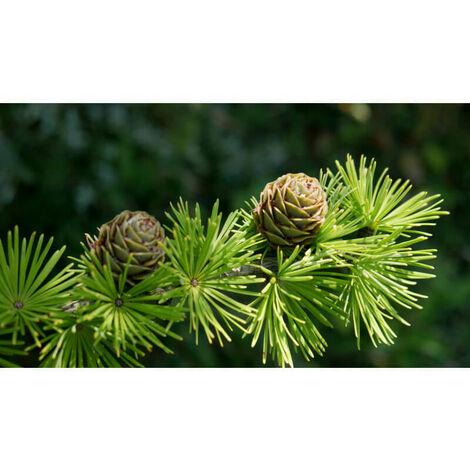 Mélèze d'Europe (Larix Decidua) - Godet - Taille 13/25cm