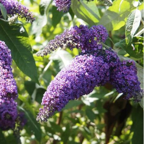 Arbre à Papillons (Buddleia Davidii) - Godet - Taille 20/40cm