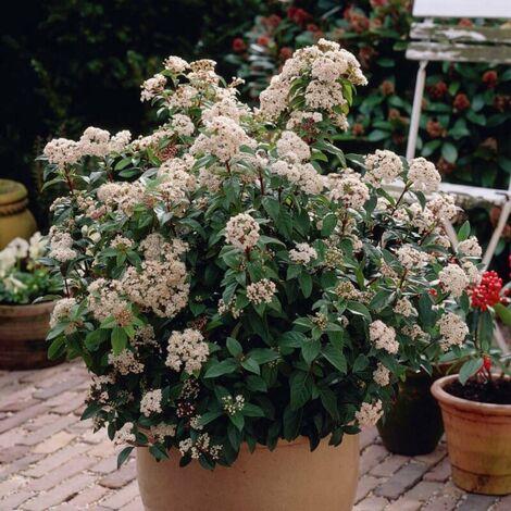 Laurier Tin (Viburnum Tinus) - Godet - Taille 13/25cm