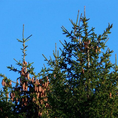Epicéa Commun (Picea Abies) - Godet - Taille 13/25cm