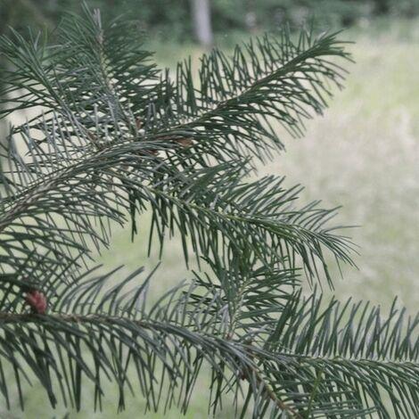 Douglas Vert (Pseudotsuga Menziesii) - Godet - Taille 20/40cm