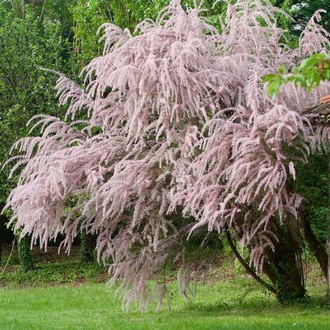 Tamaris d'Eté (Tamarix Pentandra Ramosissima) - Godet - Taille 20/40cm
