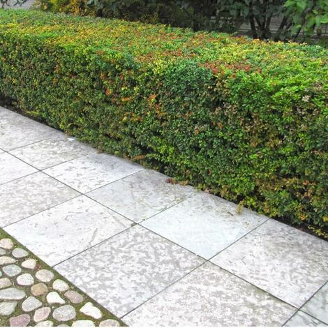 Cotoneaster de Franchet (Cotoneaster Franchetii) - Godet - Taille 20/40cm