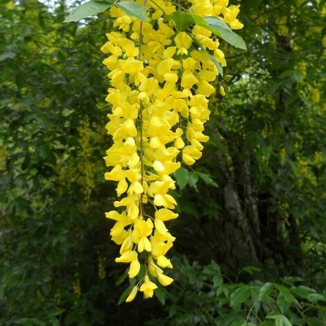 Cytise Commun (Laburnum Anagyroides) - Godet - Taille 20/40cm