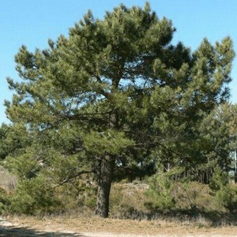 Pin Maritime (Pinus Pinaster) - Godet - Taille 13/25cm