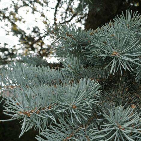 Epicea du Colorado (Picea Pungens) - Godet - Taille 20/40cm